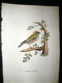 Shaw C1800's Antique Hand Col Bird Print. Common Goldcrest